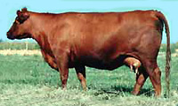 Red SSS Miss High Lass 352X :: Red Angus Embryo Donor :: Browarny Photo