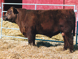 Red SSS Norseman 412S :: Red Angus Herd Bull :: click to enlarge.