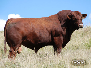 SSS Pursue 99M :: Red Angus Herd Bull :: click to enlarge.
