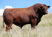 Red SSS Pursue 99M :: Red Angus Sire :: click for more details.