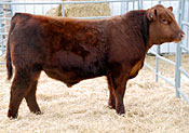 Trapper :: Red Angus Sire :: click for more details.